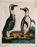 Left, the Patagonian penguin