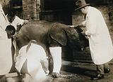 A pigmy elephant with crooked legs having a plaster cast applied by the zoo superintendent, Dr Vevers, prior to …