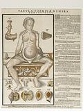 Anatomical fugitive sheet,female