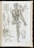 Engraved illustration of veins and arteries from De corporis humani structura et usu libri III