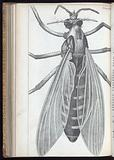 Engraving from Micrographia, 1665, by Robert Hooke