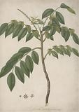 Brucea antidysenterica J Miller (James Bruce's Tree): finished drawing of part stem with flowering shoots and leafy …