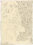 Netchilo (Abutilon longicuspe)