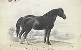 English Draught Horse