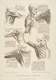Sheet of Anatomical Studies of the Shoulder Muscles