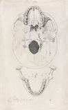 A measured drawing of a skull