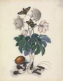 Collection of drawings depicting specimens from the natural history cabinet of Anna Blackburne