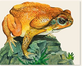 Giant Toad by Kenneth Lilly